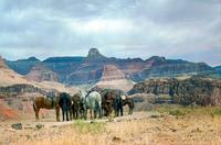 Angebundene Mulis am Plateau Point im Grand Canyon, 1973 Raigro/Timeline Images
