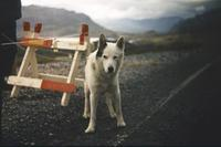 Husky in Norwegen, 1966 HRath/Timeline Images