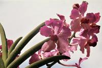 Orchidee in Singapur, 1978 Czychowski/Timeline Images