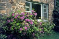 Rhododendron in Glyndon Juergen/Timeline Images