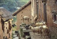 Schafe in Nepal, 1986 RalphH/Timeline Images