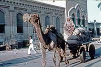 Transportkamel in Pakistan, 1960 Anheas/Timeline Images